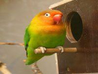 Burung Lovebird, Merawat Burung Lovebird, Makanan Burung Lovebird, vitamin lovebird biar gacor, perawatan harian lovebird, Merawat Lovebird Biar Cepat Gacor, Cara Merawat Burung Lovebird Agar Gacor