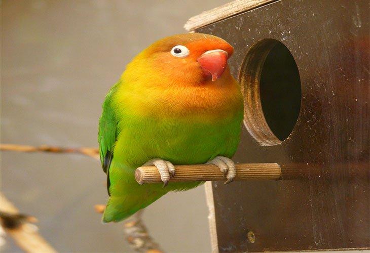 makanan lovebird agar lebih sehat dan lebih cepat gacor