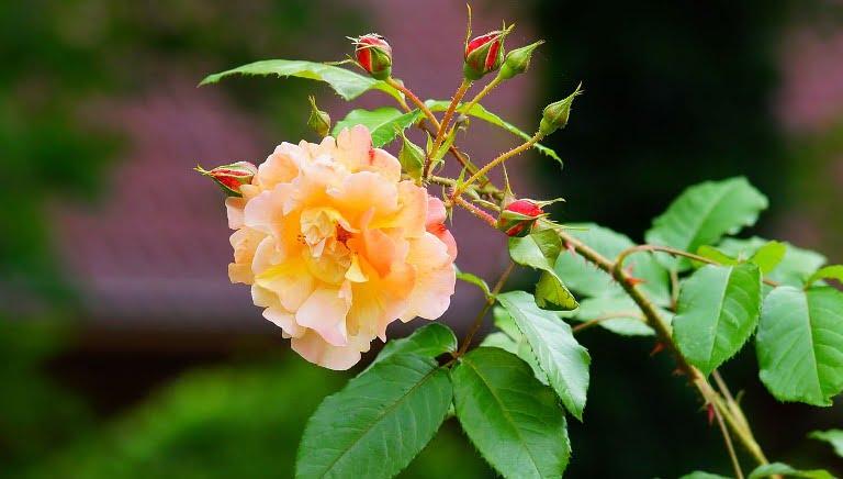Bunga Mawar, Menanam Bunga Mawar, Cara Menanam Bunga Mawar, Teknik Menanam Bunga Mawar, Cara Simpel Menanam Bunga Mawar, Cara Stek Bunga Mawar