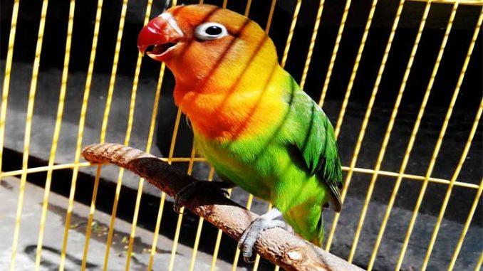 Merawat Burung Lovebird, Burung Lovebird, Lovebird, perawatan lovebird, perawatan harian lovebird,