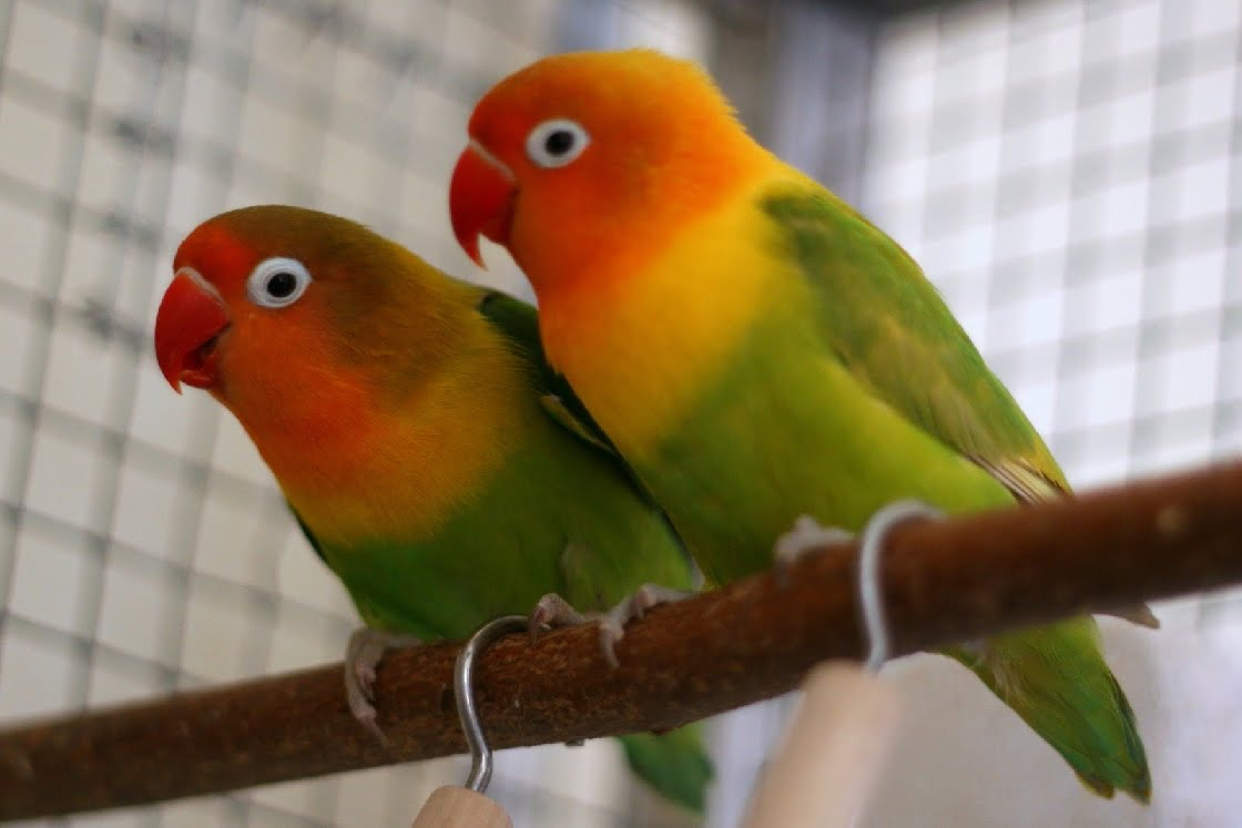 ternak lovebird, cara beternak lovebird