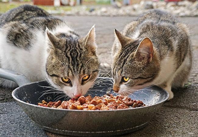 Kandungan Yang Harus Ada Pada Makanan Kucing