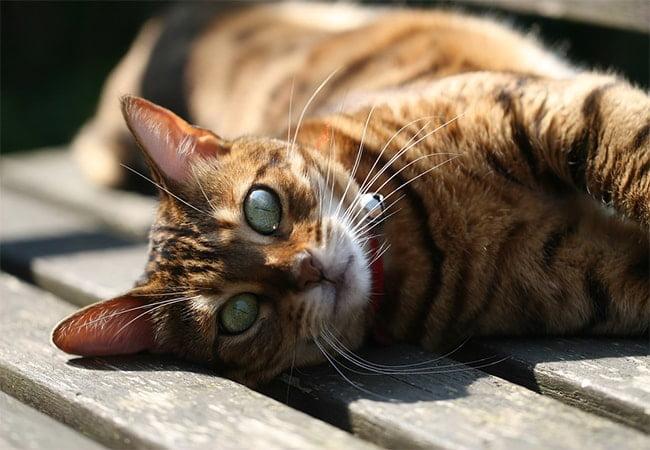 Karakteristik Makanan Kucing Bengal Yang Bagus