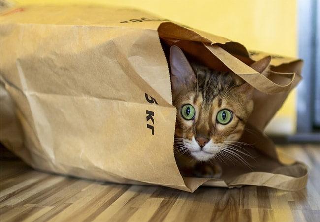 Masalah Umum Kesehatan Kucing Bengal